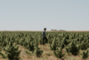 Populum CBD Founder Gunhee Park walking through a field full of hemp plants
